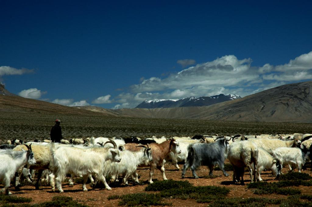 Currently, chiru goats are found in the Tibetan plateau, China and north-eastern Ladakh. Credit:  Koshy Koshy / Flickr