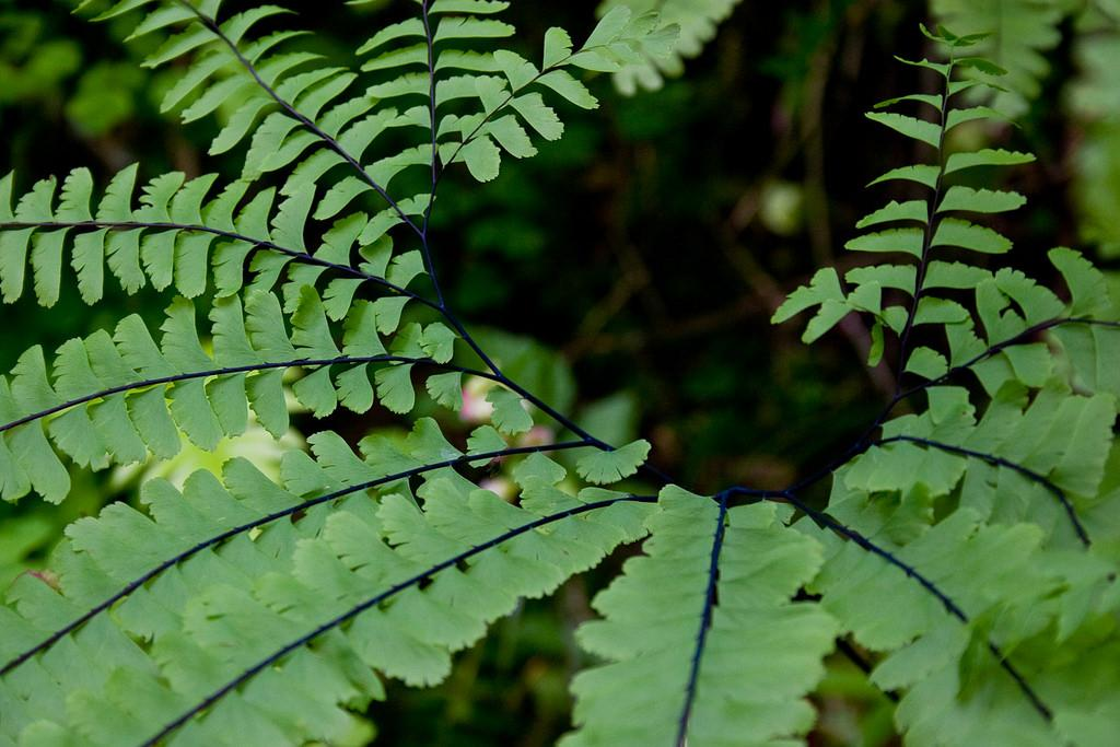 Chalcones are yellow compounds found in many plant organs, especially in ferns. Credit: Stephen Fitzgerald/ Flickr
