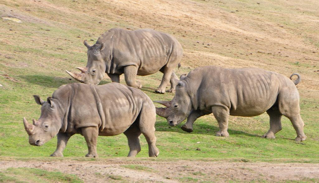 Taking rhinos from Africa and transporting them to foreign countries extends the history of exploitation of Africa's resources. Credit: Ted / Flickr