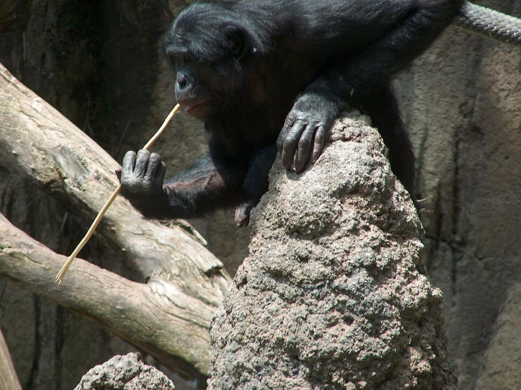 A bonobo fishing for termites using a stick (Credit: Mike R/Wkimedia Commons)