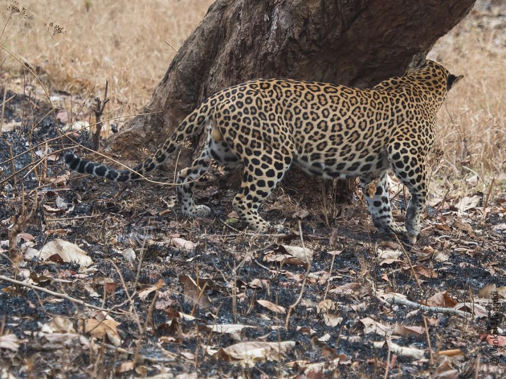Over the last one year, leopards have killed around 12 people in the Rajaji Tiger Reserve. Credit: Venkat Mangudi / Flickr