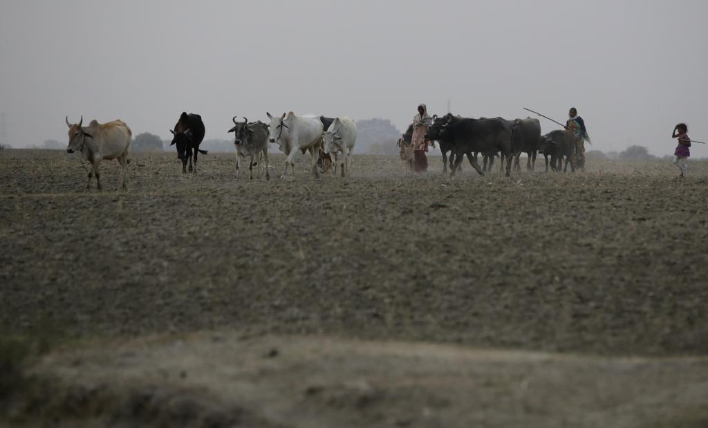 Cattle and buffaloes in Bundelkhand, Uttar Pradesh Credit: Vikas Choudhary