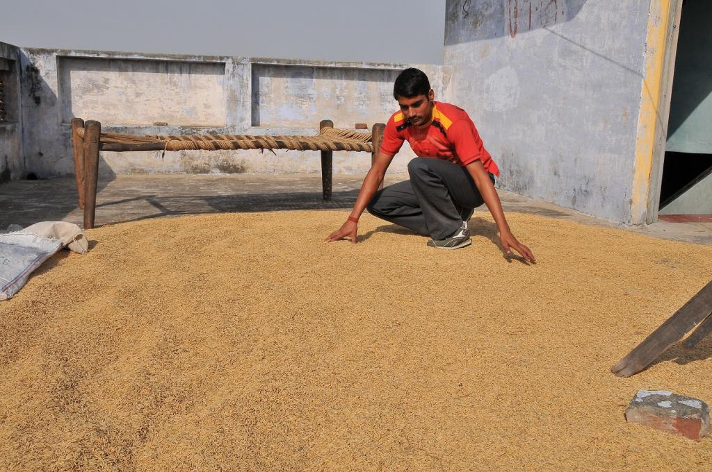 Commonly consumed crops like wheat have lower iron concentrations when grown under increased level of atmospheric CO2 Credit: Meeta Ahlawat / CSE