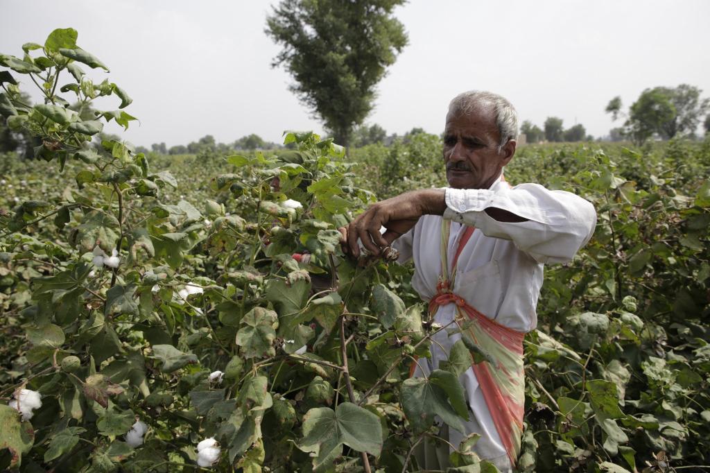 लंबे समय तक विवादों में रहे बीटी कॉटन के बीजों की मार्किटिंग में बीज कंपनियां नियमों की घोर अनदेखी Credit: Vikas Choudhary / DTE