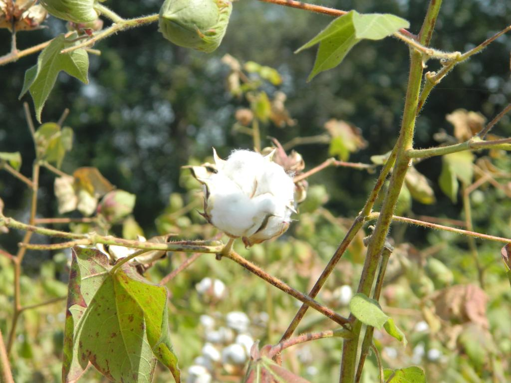 The study has found seed companies to be violating norms for Bt cotton (Credit: Moyna/CSE)