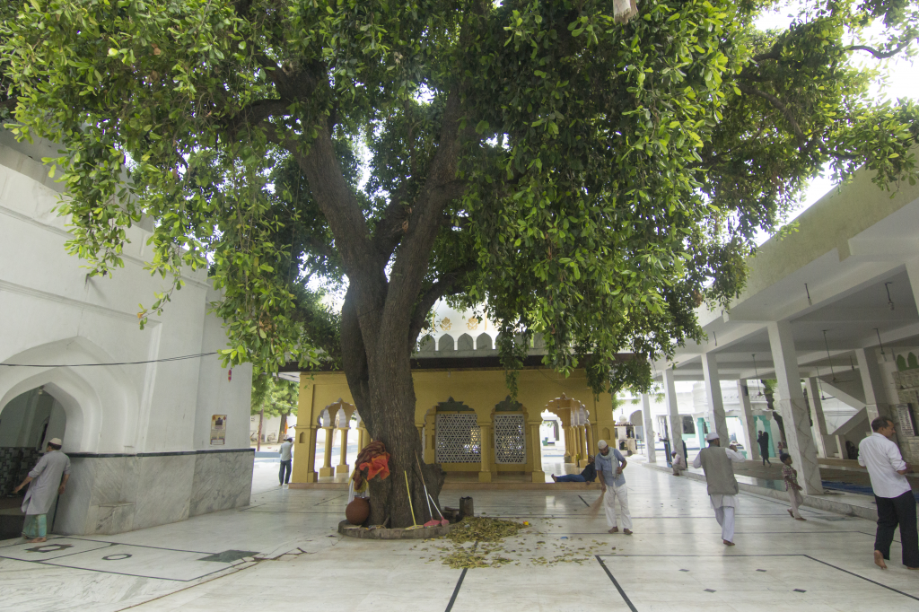 Said to the oldest tree in Delhi, this Khirni (Mamikara hexandre) tree benevolently shades parts of the shrine of Sufi saint Hazrat Naseeruddin Mahmud Roshanchirag in Chirag Delhi. The tree has been around since the shrine was built in 1356 (Credit: Adithyan P C/CSE)