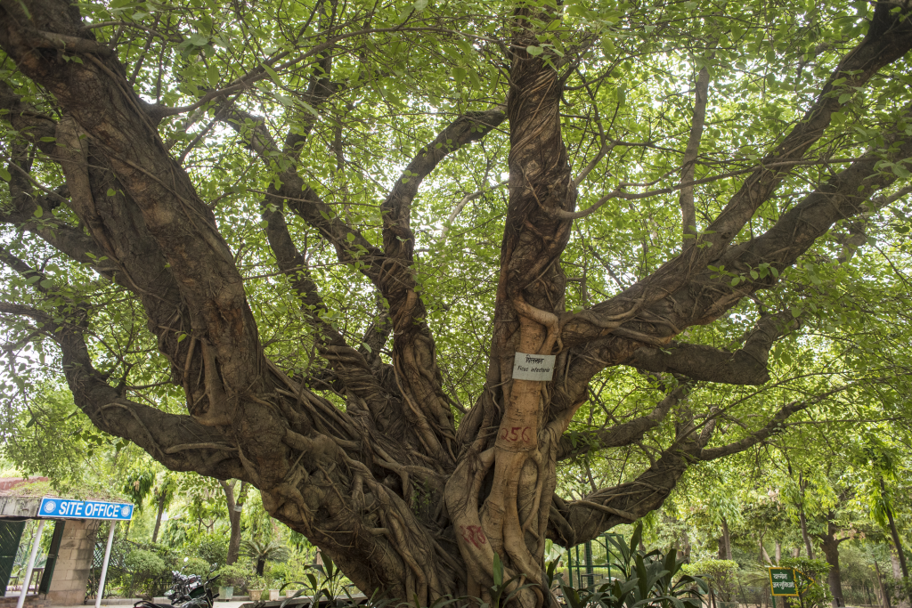 Pilkhan or Ficus virens is large fig tree, often with its roots wrapped around its trunk. A specimen given heritage status stands tall at Deer Park, Hauz Khas (Credit: Adithyan P C/CSE)