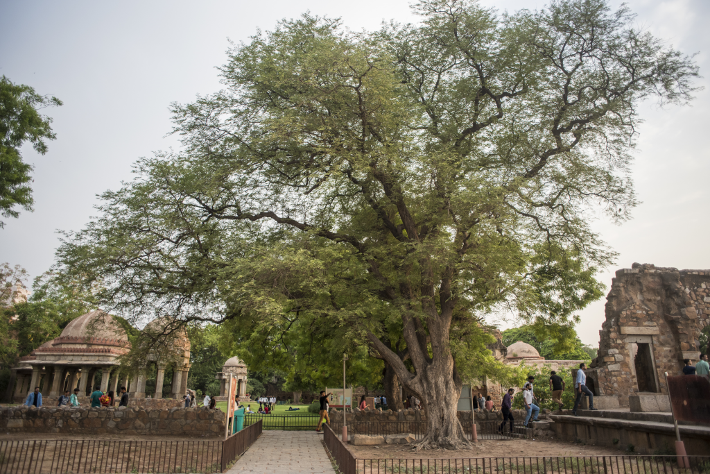 Imli is a large deciduous tree known to have multiple uses in traditional medicine. Here, an Imli or Tamarindus indica specimen growing in the Hauz Khas fort complex (Credit: Adithyan P C/CSE)