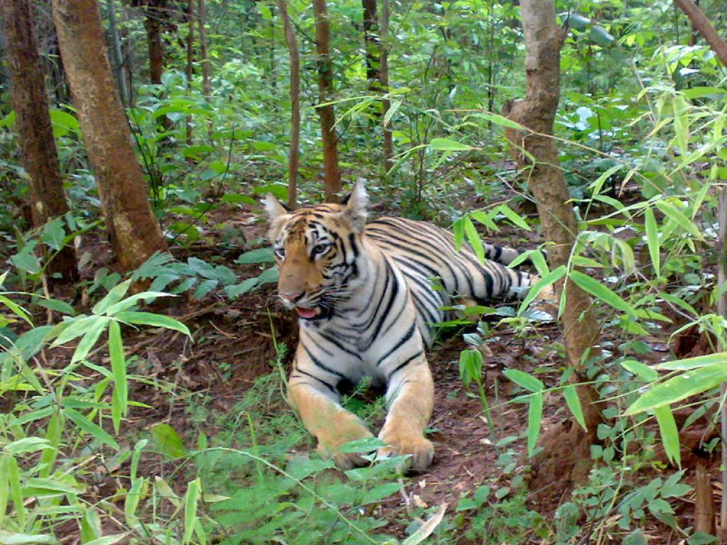 On June 23, the Principal Chief Conservator of Forests (Wildlife), Maharashtra gave the shoot-at-sight order. Credit: Wikimedia Commons