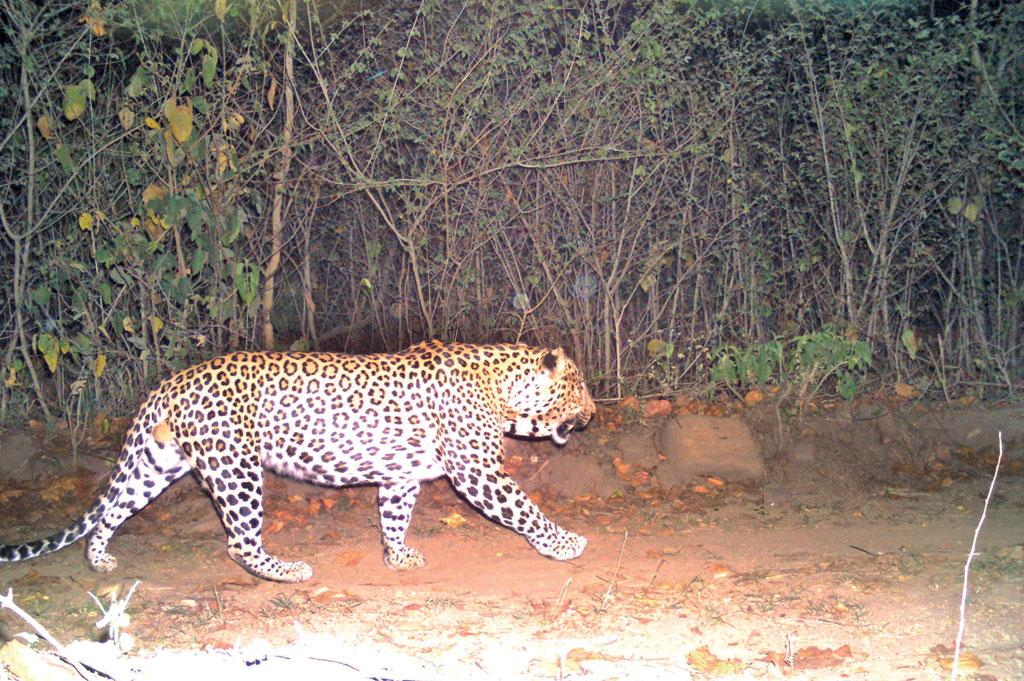 A camera trap footage of the leopard who is suspected to have killed the section officer at the Motichur range of the Rajaji National Park on May 18 (Source: Uttarakhand forest department)