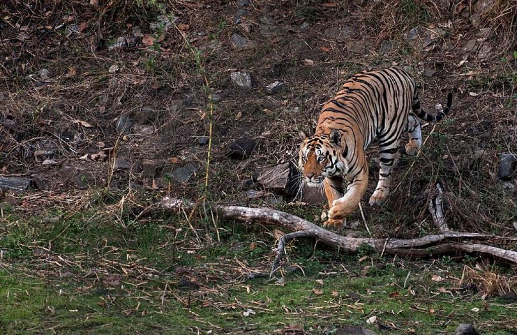 In the light of increasing poaching activities, the NTCA had given directions to chief wildlife wardens of states with tiger ranges. Credit: Wikimedia Commons