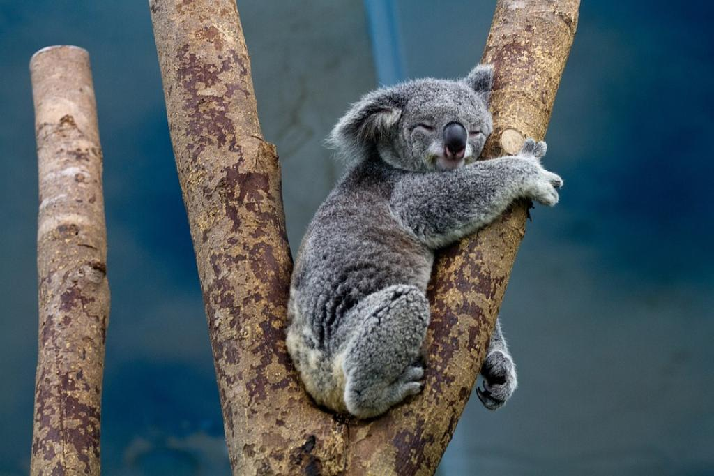 Koalas have strong associations with small areas of habitat and tend to rely on particular food trees.Credit: skeeze / pixabay