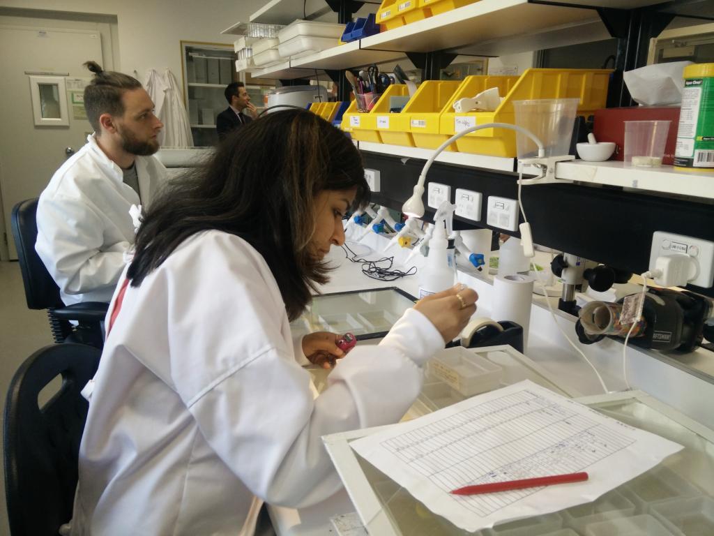 मोनाश यूनिवर्सिटी की डेंगू लैब में कार्यरत वैज्ञानिक। फोटो : दिनेश सी. शर्मा