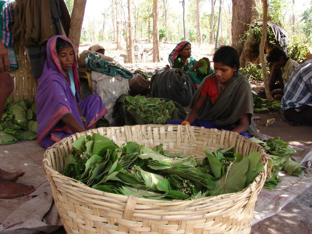 The tribals collect the leaf as part of their right defined under FRA (Credit: Kumar Sambhav Shrivastava/CSE)