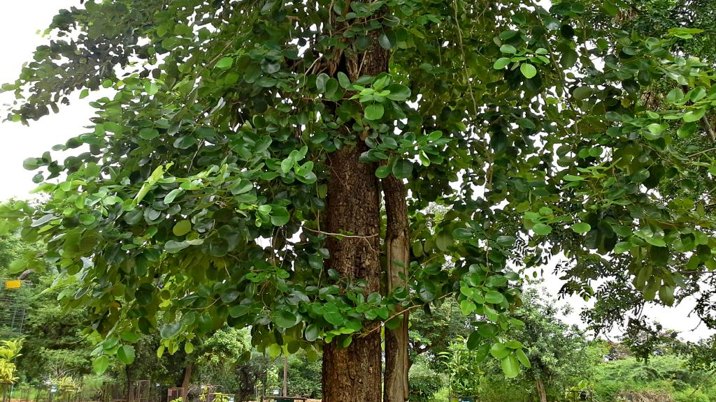 New Way To Grow Sandal Trees Could Boost Production