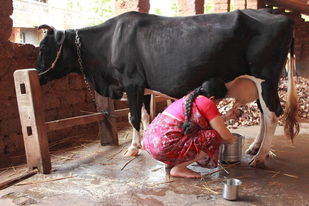 Desi cow's milk has lesser fat content as compared to the Jersey cow (Credit: Suchitra Photography/Flickr)