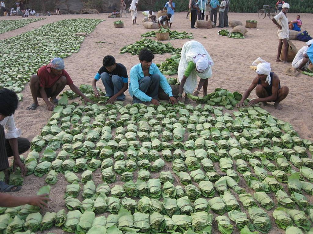 Kendu leaves are a nationalised product, meaning the state forest department has monopoly over its trade (Credit: Subodhkiran/Wikimedia Commons)