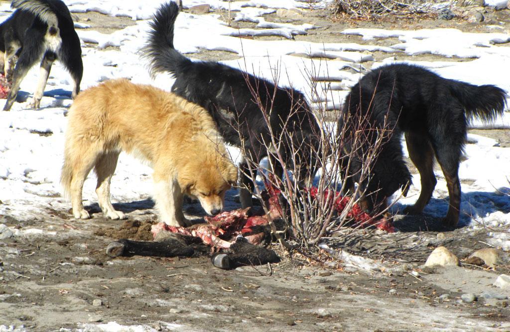 जंगली जानवरों से ज्यादा कुत्तों ने मवेशियों को शिकार बनाया है। मवेशियों के  सबसे बड़े भक्षक कुत्ते बन गए हैं (फोटो सौजन्य: चंद्रिमा होम)