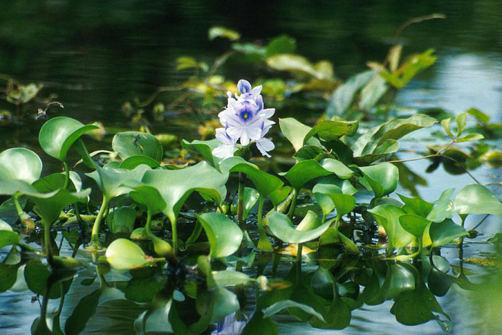 The new method uses water hyacinth, a weed known for its ability to spread rapidly over water bodies (Credit: Ted Center/Wikimedia Commons)
