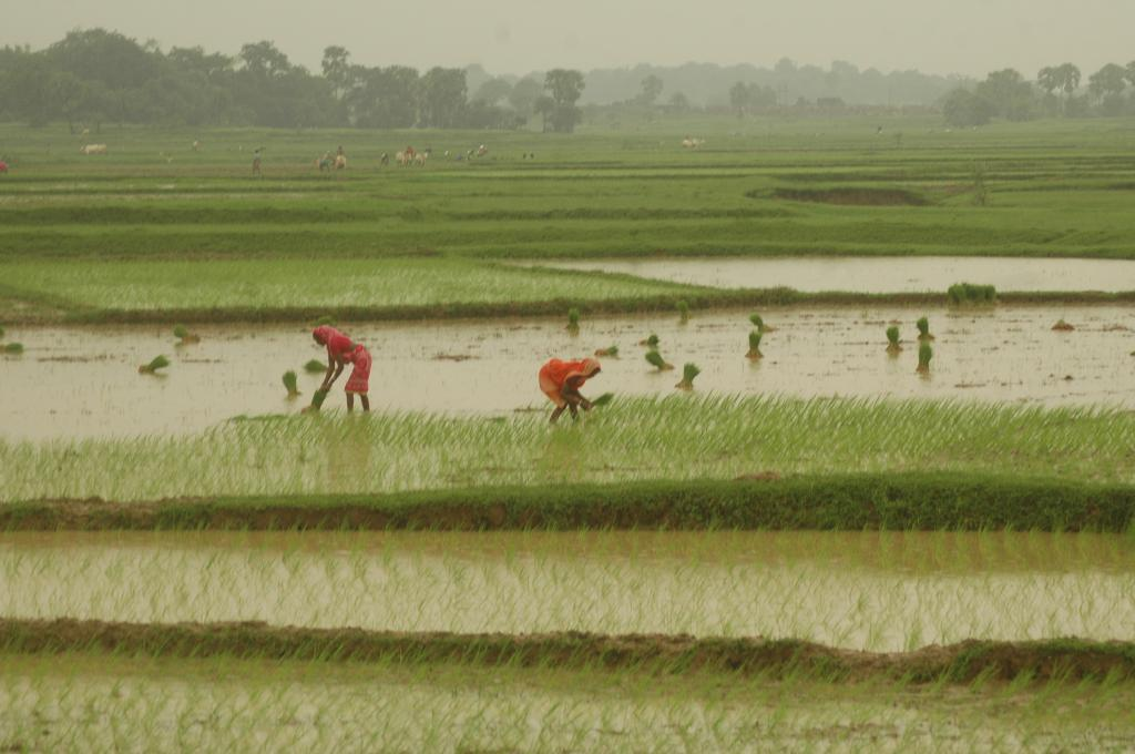 In several countries in Asia-Pacific, floodwater incursions into rice paddies has long been a major problem (Agnimirh Basu/CSE)