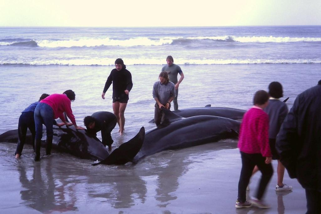 Mass beaching of whales is a global phenomenon but the causes have eluded researchers for long. Credit: wikimedia commons