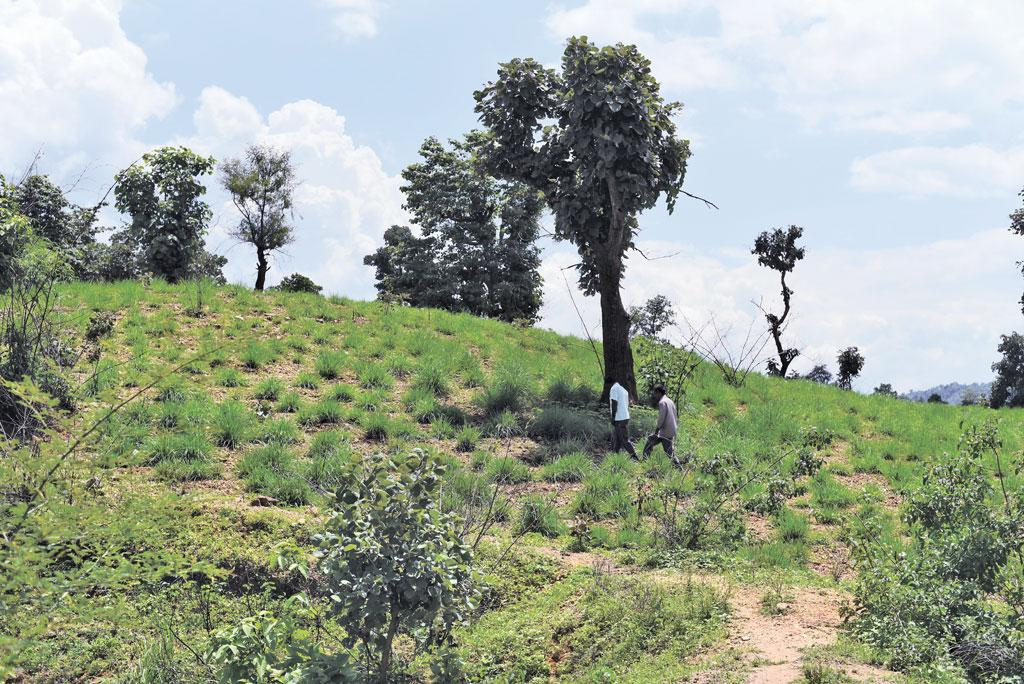 The Oraon brothers of Armu village in Palamu Tiger Reserve have dumped paddy cultivation for lemongrass to evade elephant attacks (Photo:Adithyan PC)