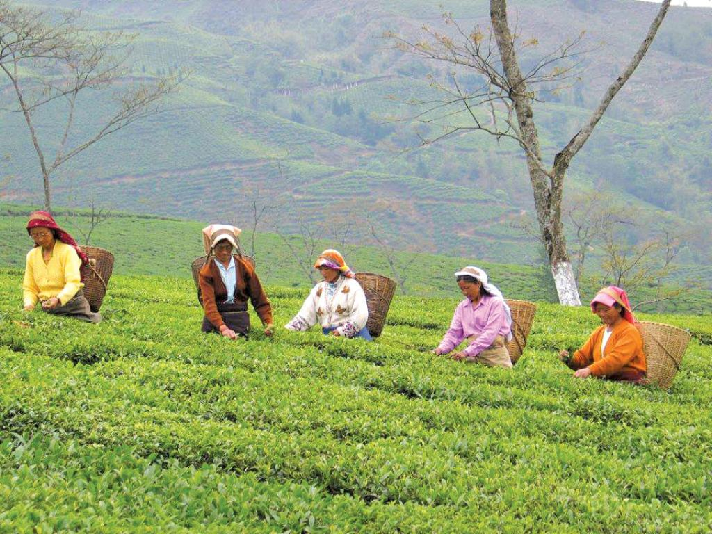 Many tea estates have postponed the pruning cycle of tea bushes from December-January to late April and June, based on the availability of rainfall