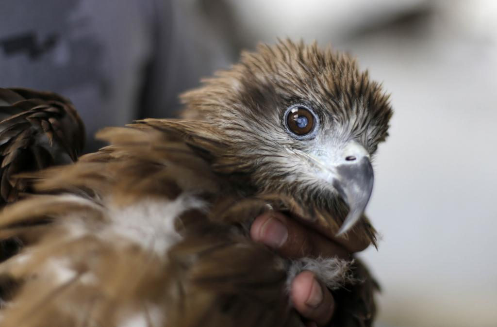 This migratory black-eared eagle has cataract and cannot take flight, thus being bound to land. While there are many birds hospitals in the world, including a major one in Delhi, few cater to birds that have meat-based diets (Credit: Vikas Choudhary/CSE)