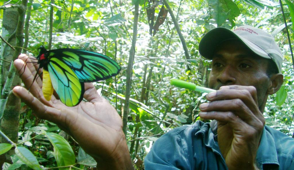 In the Northern Province of Papua New Guinea, the density of Queen Alexandra's Birdwing has shrunk to only 10 per sq km. Credit: Angelus Palik / SBBT