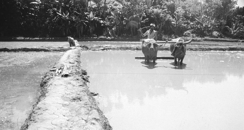 बांध डालकर धान के खेतों को बराबर कर लिया जाता है जिससे धान के लिए पानी जमा किया जा सके (फोटो: केरल शास्त्र साहित्य परिषद)