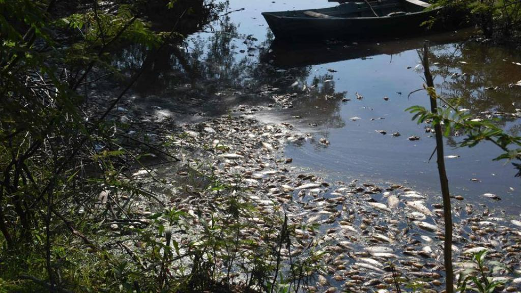 Experts, however, believe that it is not due to low water levels that the fish are in distress and attribute this event to pollution. Credit: Non Stop News