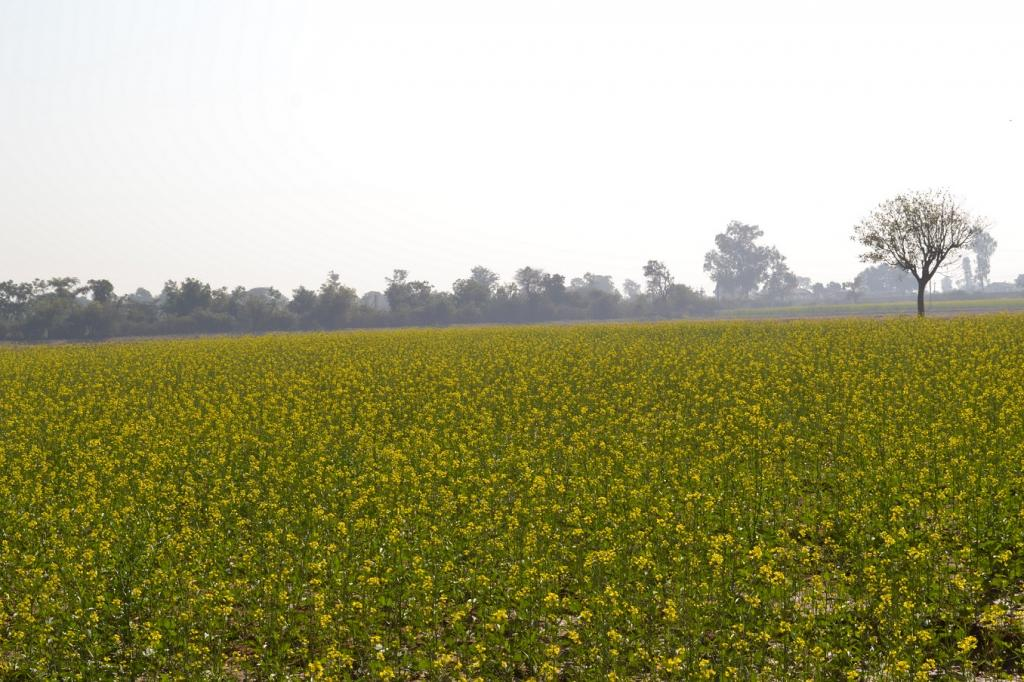 GM mustard would have been the first transgenic food crop to be allowed for commercial cultivation. Credit: Wikimedia Commons
