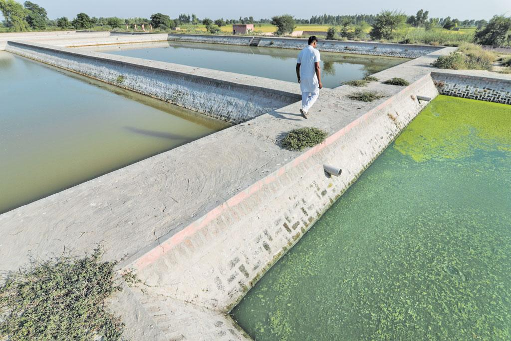 A  working Waste Stabalisation Pond in Badal Village, Muktsar. It is treating  sewerage coming out of two village panchayats (Photo: Vikas Choudhary)