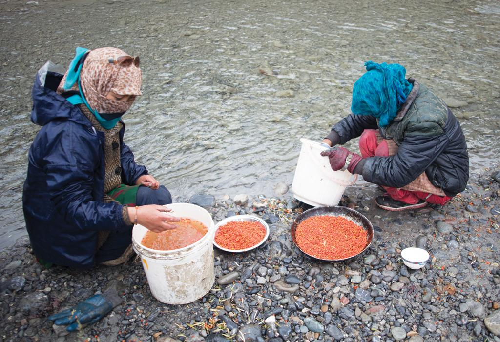 The berries are then washed in the river to remove any dirt