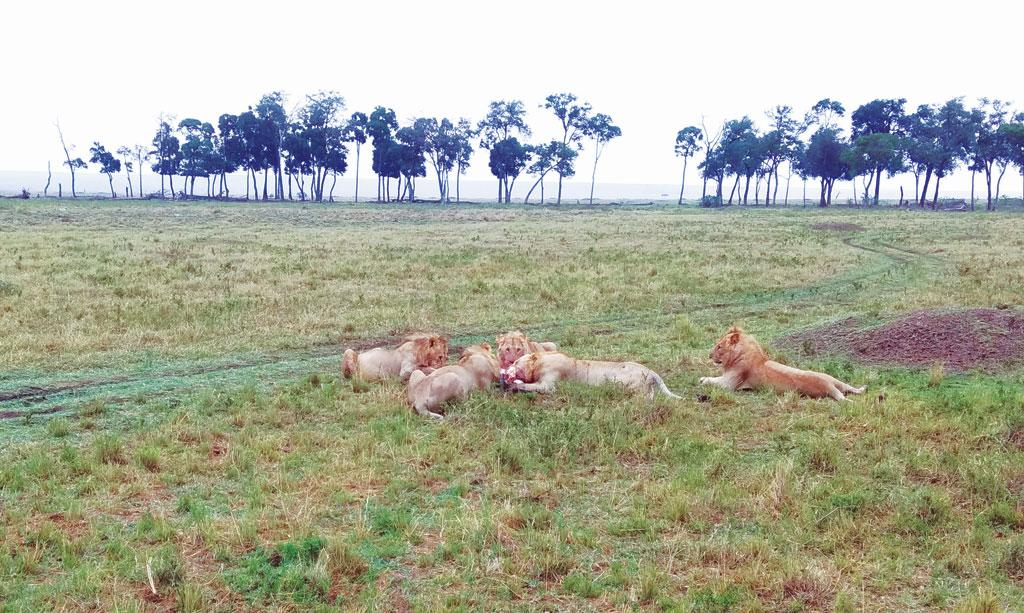 Pastoralists are now poisoning the lions to save their cattle