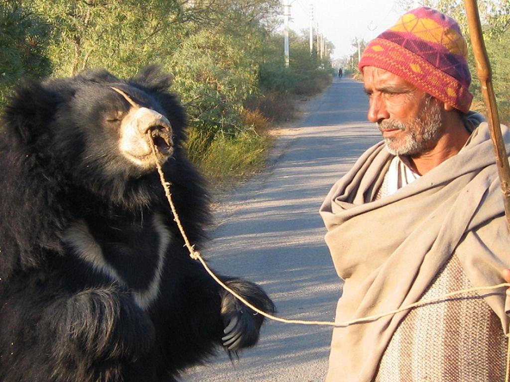 While the use of bears in the entertainment industry continues in Pakistan, it has been discontinued in Greece, Turkey and India. Credit: Wikimedia Commons