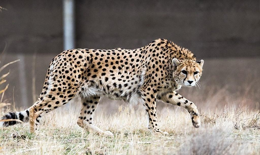 Asiatic cheetah population, which solely exists in Iran, has reduced by 98 per cent of the historical range. Credit: Wikimedia Commons