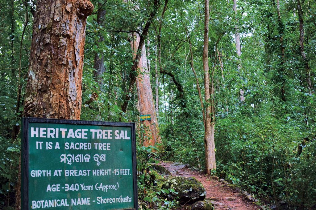 Sal trees stand tall inside the sacred grove at Similipal Tiger Reserve. The forest department plans to build shed over deities in sacred groves. But in tribal areas, people love to worship nature