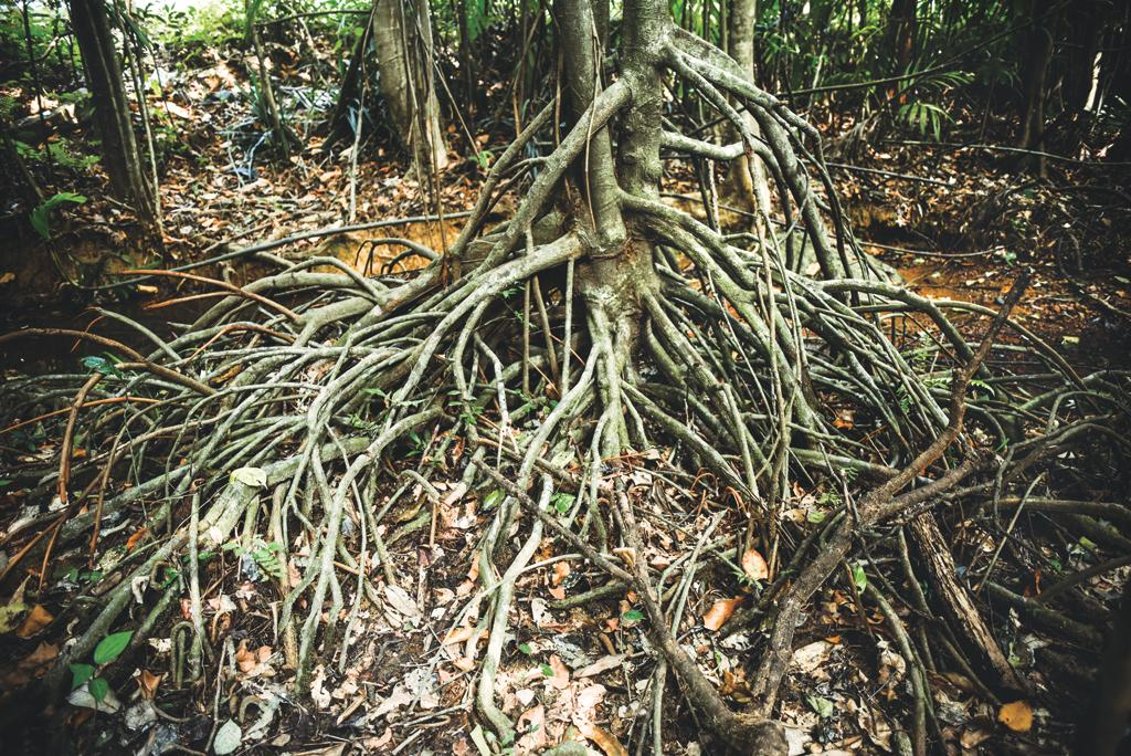 Myristica trees are characterised by stilt roots that grow obliquely above the ground and help in respiration, toxin removal and transpiration. It is found in swamp ecosystems and is the oldest flowering tree