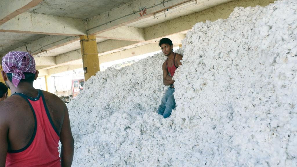 Known for its cultivation of cotton, Saurashtra  region dealt a heavy blow to the BJP in the recent assembly elections (Photo: Sunny Gautam)