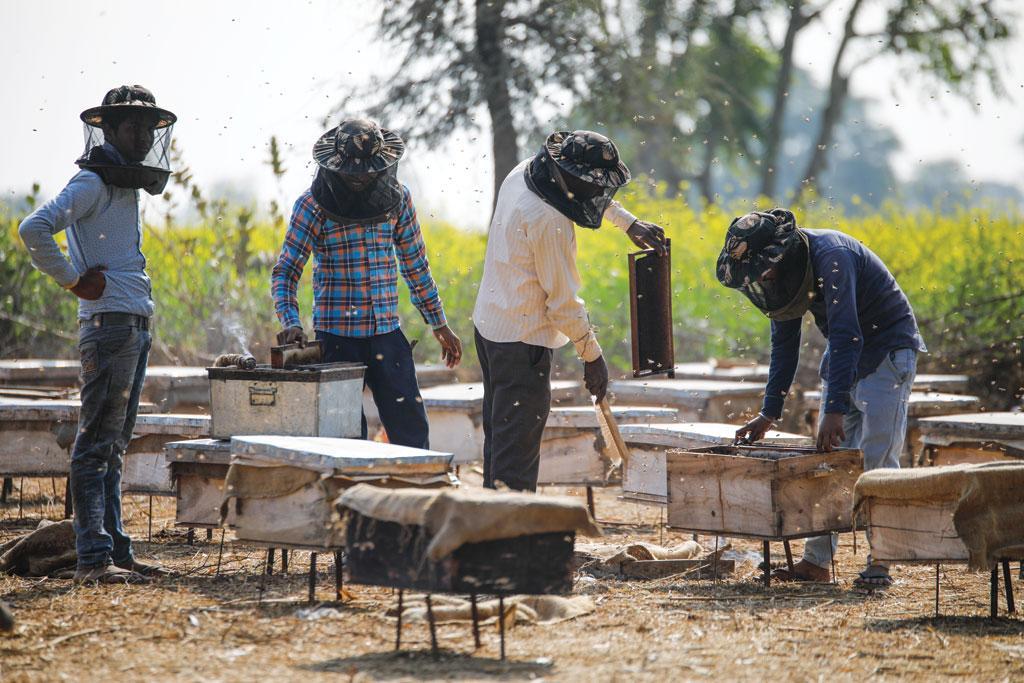 भरतपुर के नगला कल्याण गांव में कालोनी की देखभाल करते मधुमक्खी पालक