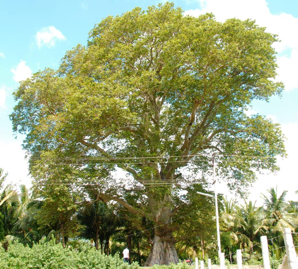 A 500-years-old tree called Terminalia Arjuna-Neer Maruthu (Tamil), Thella Maddi (Telugu), Nirmathi (Kannada) and Arjun (Hindi) in Kanyakumari, Tamil Nadu. Credit: Author