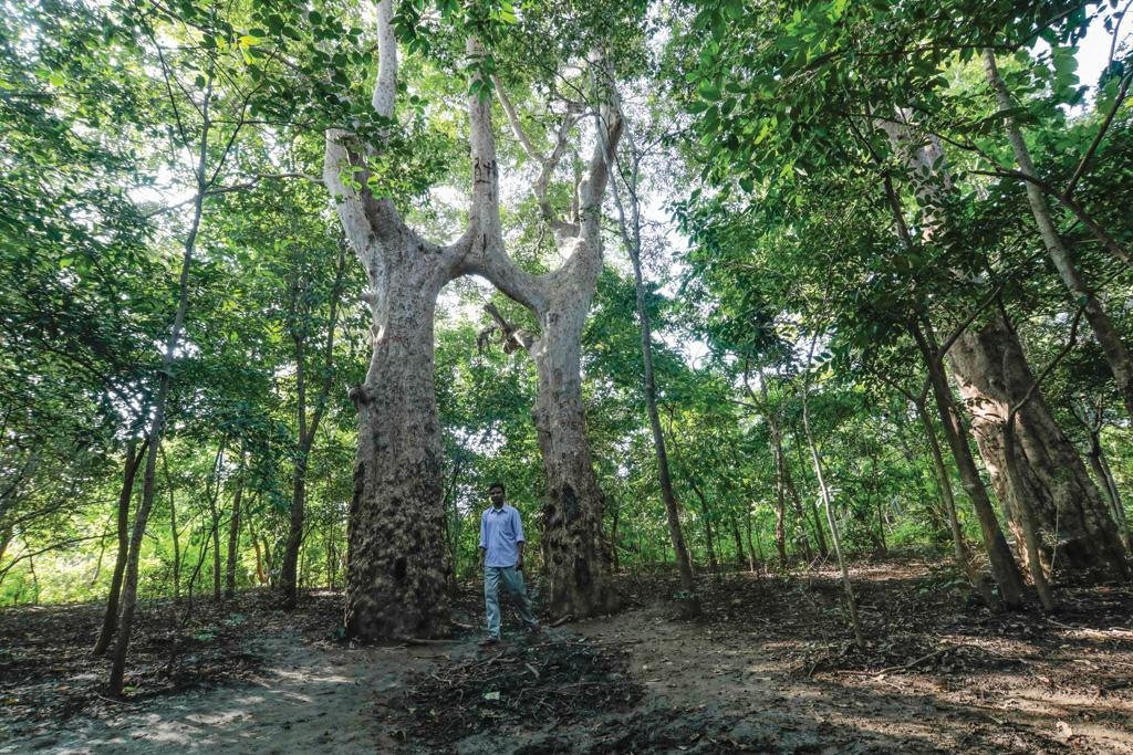 झारखंड में अर्जुन के दो पेड़ जुड़कर एक हो गए हैं। लोग आपसी एकता के लिए इन पेड़ों की पूजा करते हैं (विकास चौधरी / सीएसई)