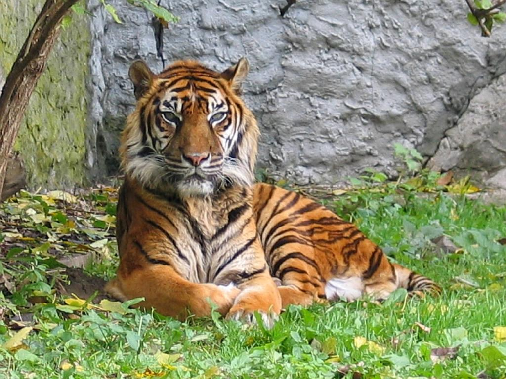 A Sumatran Tiger, the smallest tiger species found on the Indonesian island of Sumatra  Credit: Wikimedia