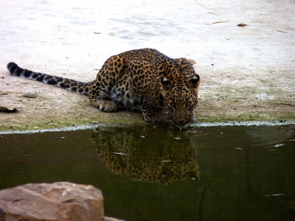 India has to change its attitude towards leopards'
