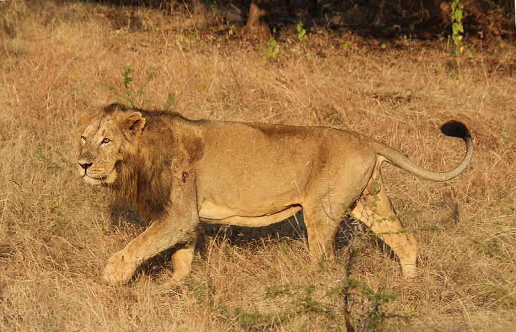 A male lion in Gir Credit: WIkimedia