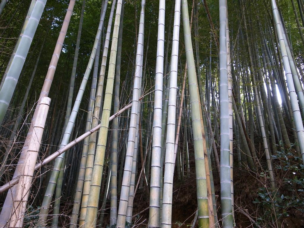 Bamboo - is a raw material of natural origin, has long been used by man in everyday life. More than two centuries ago it was used for the construction of houses, bridges, boats, home paraphernalia, musical instruments. In eastern medicine, the plant was used as a sedative and cosmetic 9