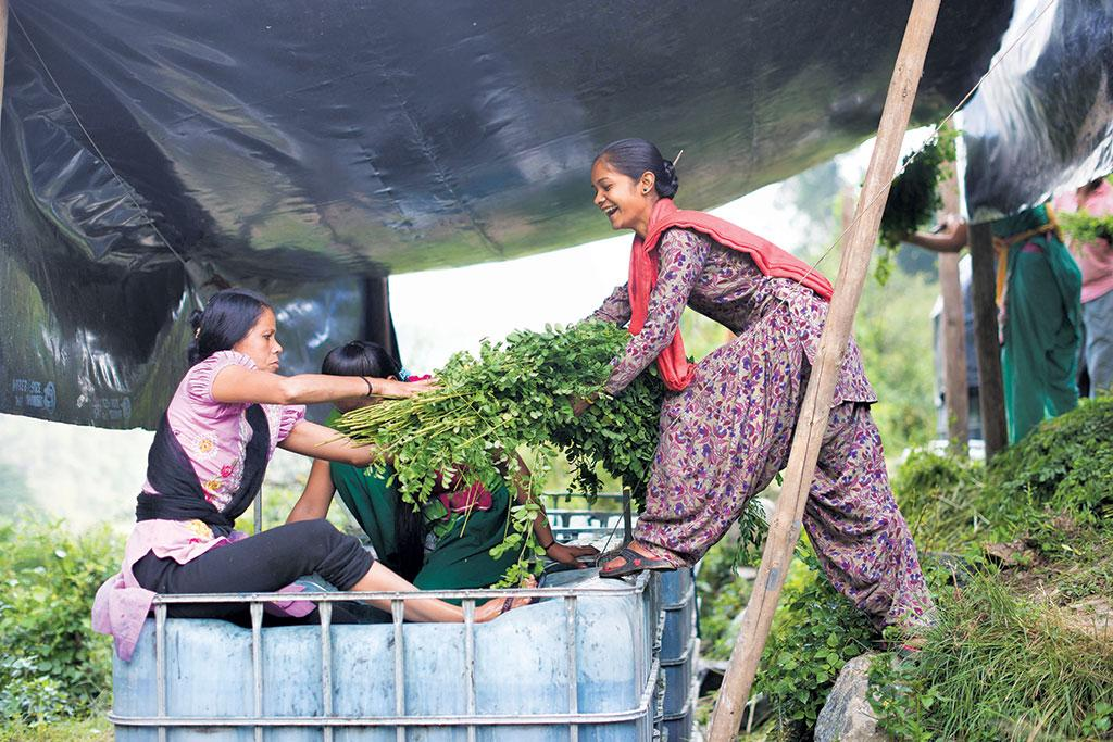 Women loading indigo leaves on a truck after harvesting them in a village in Pithoragarh district (Courtesy: Avani Society)