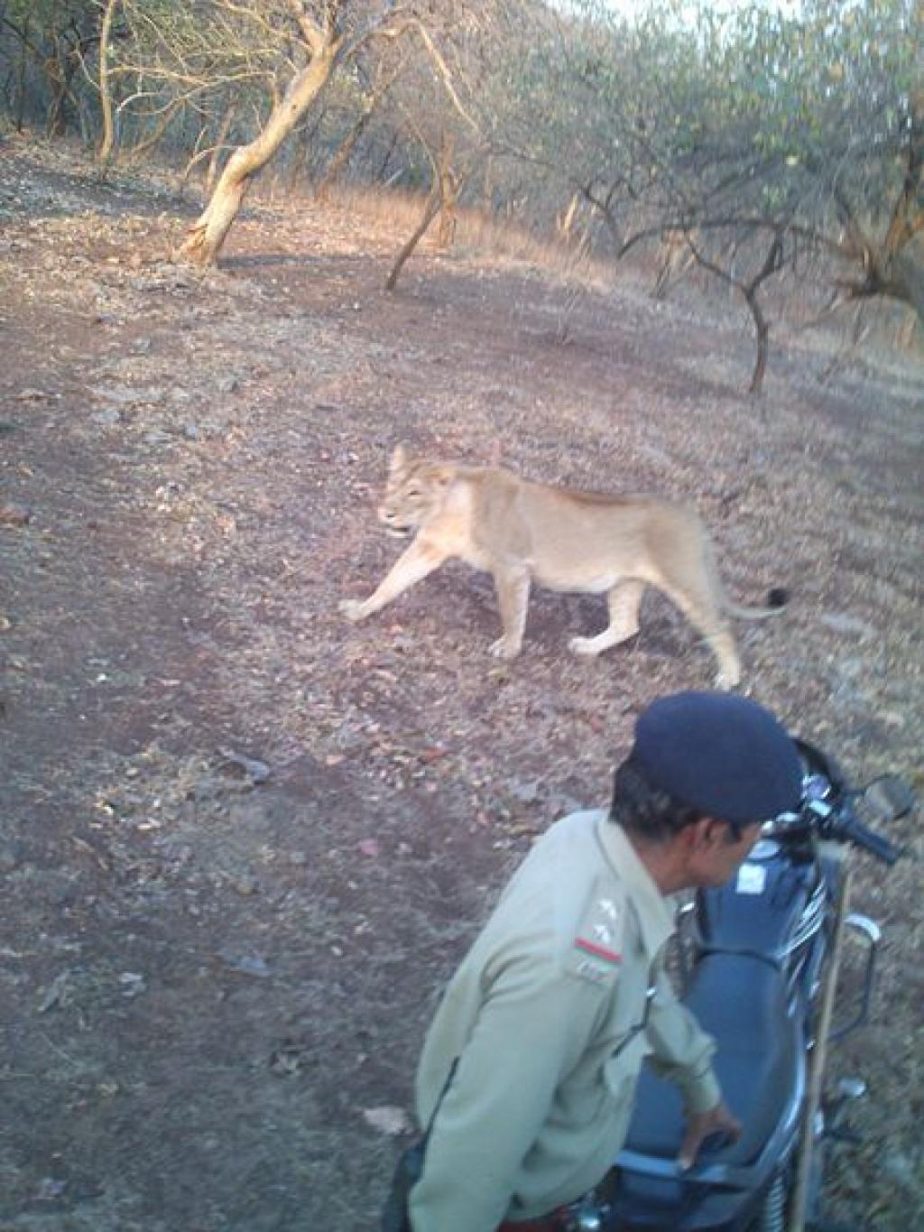 A lioness crosses paths with a policeman in Gir, Gujarat   Credit: WIkimedia Commons