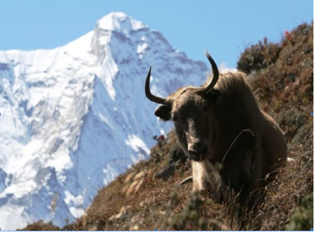 Heat stress in yak is affecting the rhythms of physiological responses of the animal. Credit: ISC
